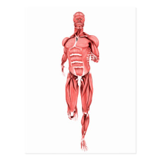 Medical Illustration Of Male Muscles Running 1 Postcard