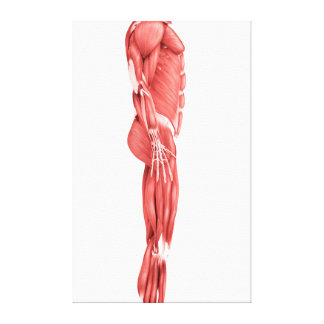 Medical Illustration Of Male Muscular System 1 Canvas Print