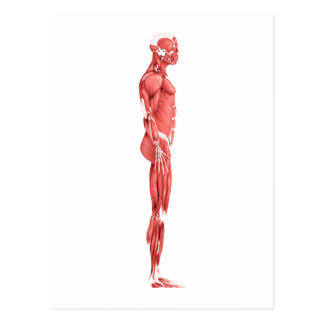 Medical Illustration Of Male Muscular System 1 Postcard