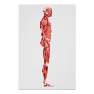 Medical Illustration Of Male Muscular System 1 Poster