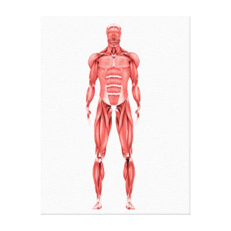 Medical Illustration Of Male Muscular System 2 Canvas Print