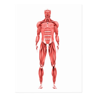 Medical Illustration Of Male Muscular System 2 Postcard