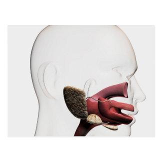 Medical Illustration Of The Human Digestive Postcard
