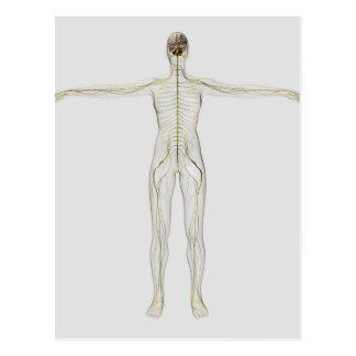 Medical Illustration Of The Human Nervous System Postcard