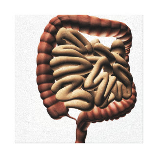 Medical Illustration Of The Large Intestine Canvas Print