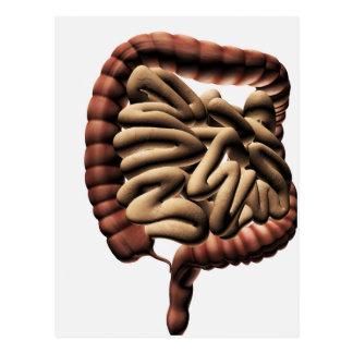 Medical Illustration Of The Large Intestine Postcard