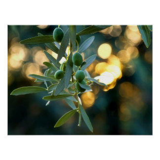Mediterranean Gold; Olives On It's Tree Branch Poster