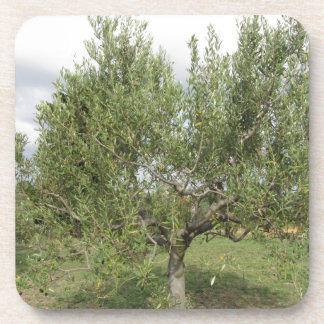 Mediterranean olive tree in Tuscany, Italy Beverage Coasters