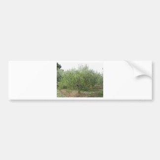 Mediterranean olive tree in Tuscany, Italy Bumper Sticker