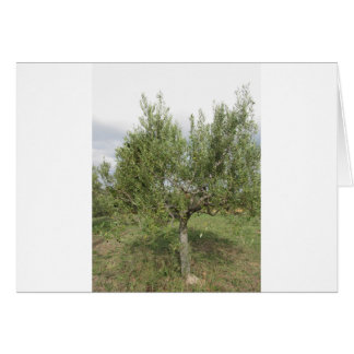 Mediterranean olive tree in Tuscany, Italy Card