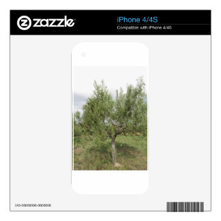 Mediterranean olive tree in Tuscany, Italy iPhone 4S Skins
