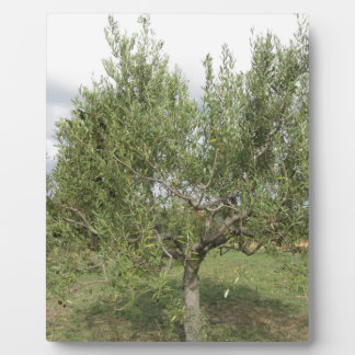 Mediterranean olive tree in Tuscany, Italy Plaque