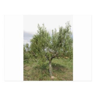 Mediterranean olive tree in Tuscany, Italy Postcard