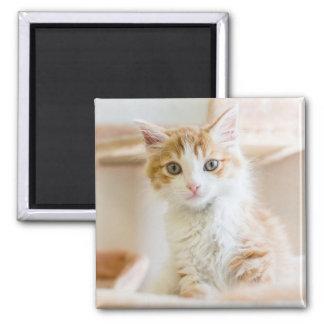 Medium Haired Orange And White Kitten Magnet