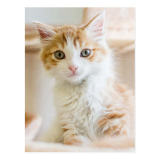 Medium Haired Orange And White Kitten Postcard