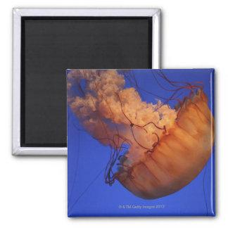 Medusas de la ortiga del mar imán cuadrado