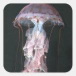 Medusas juveniles, Chrysaora (Pelagia) Calcomanias Cuadradas
