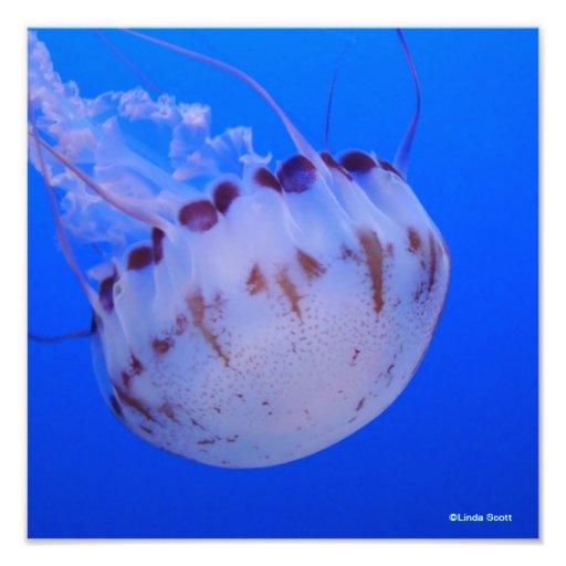 Medusas púrpuras y blancas fotografia