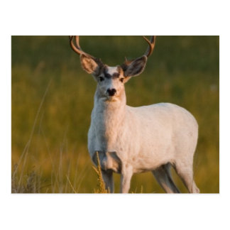 Meeker's White Buck 2 Postcard