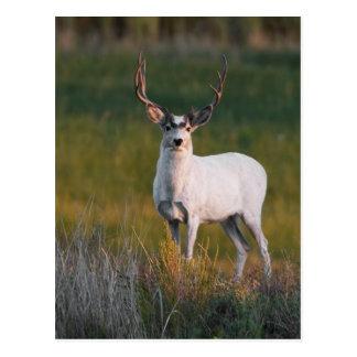 Meeker's White Deer 2 Postcard