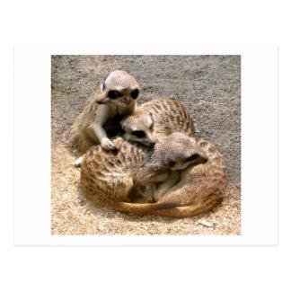 Meercat Family Postcard