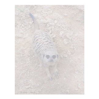 Meerkat against clay looking up photograph letterhead