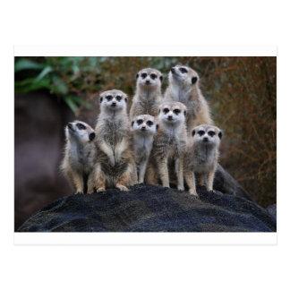 Meerkat Animal Safari Africa Cute Suricate Postcard