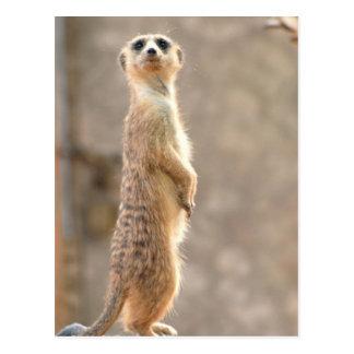 Meerkat at Attention Postcard