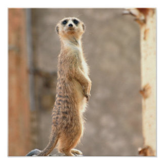 Meerkat at Attention Poster