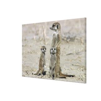 Meerkat Baby Sitter And Pups ( Suricata Suricata ) Canvas Print