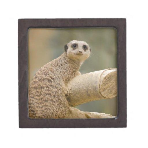 Meerkat Caja De Recuerdo De Calidad
