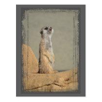 Meerkat Collection Postcard