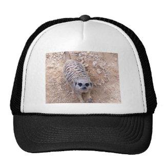 Meerkat contra la arcilla que mira para arriba la  gorras