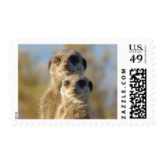 Meerkat Couple Photo Portrait Postage