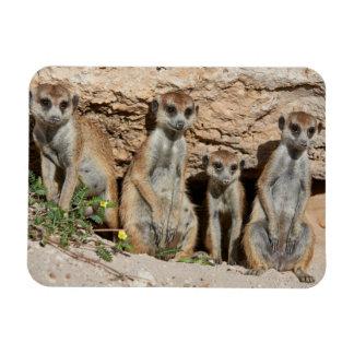 meerkat cuatro o suricate divertido, Kalahari Imán Rectangular