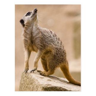 Meerkat Cute Africa Safari Animal Wild Art Postcard