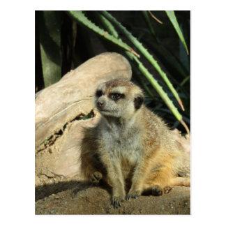 meerkat del chillin postal
