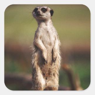 meerkat delgado-atado calcomanías cuadradass personalizadas