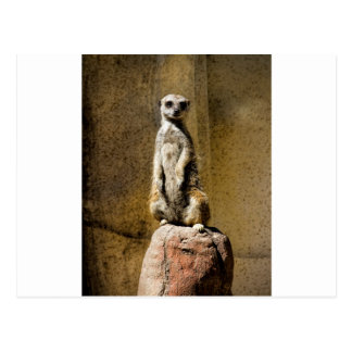 Meerkat derecho curioso - suricatta del Suricata Tarjetas Postales