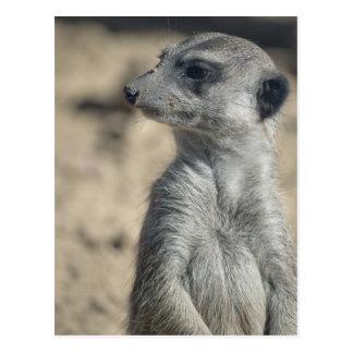 Meerkat divertido postales