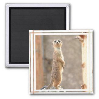 Meerkat en el imán de la atención