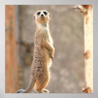 Meerkat en el poster de la atención