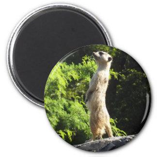Meerkat- en el reloj imán para frigorífico