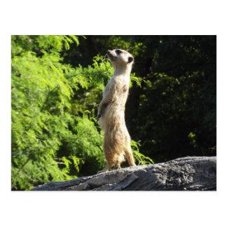 Meerkat- en el reloj postales