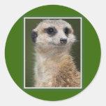 Meerkat en la mirada hacia fuera pegatina