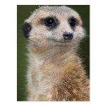 Meerkat en la mirada hacia fuera tarjeta postal