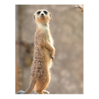 Meerkat en la postal de la atención