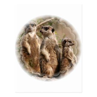 Meerkat Family Postcard