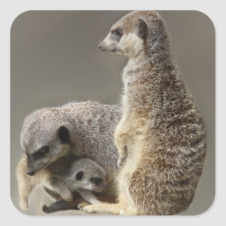 meerkat family square sticker