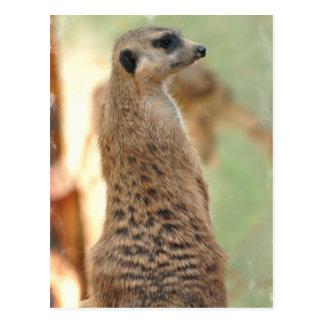 Meerkat Guard Postcard